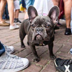 Franse bulldog van jan van de ven