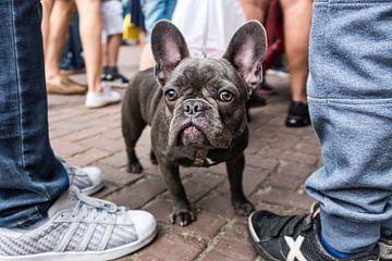 Franse bulldog sur