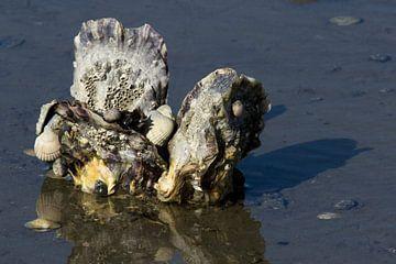 Japanse oesters in de Waddenzee van