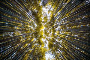 Forêt de bambous d'Arashiyama sur