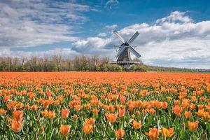 tulpenlandschap met een Hollandse molen