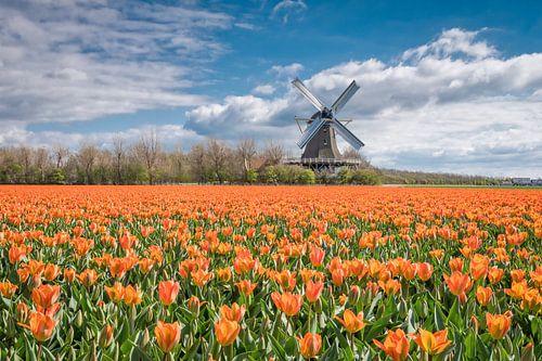 tulpenlandschap met een Hollandse molen van