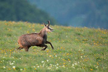 Gämse ( Rupicapra rupicapra ) springt voller Lebensfreude über eine Blumenwiese, wildlife, Europa. von wunderbare Erde