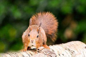 eekhoorn gespot van