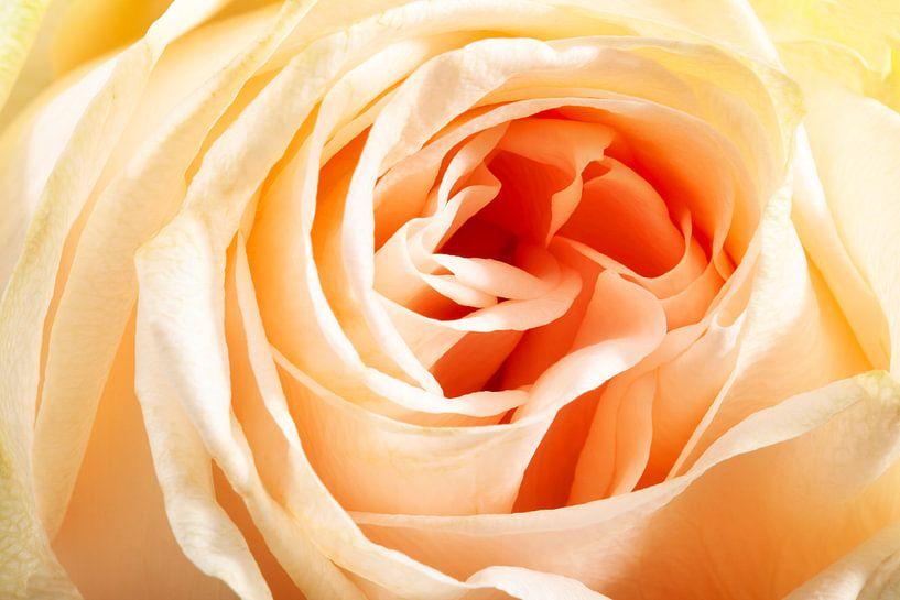 Close-up van een roos van Peter de Kievith Fotografie