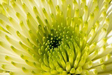 Chrysanthemum Close Up van Yvonne Verlaan