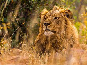 Leeuw, lekker relaxen van