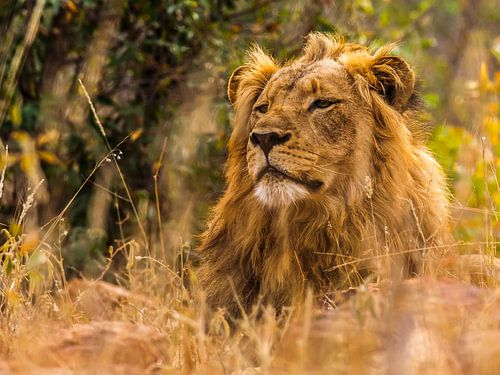 The lion, taking a break