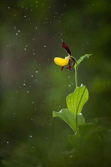 Damespantoffel (orchidee) in de regen
