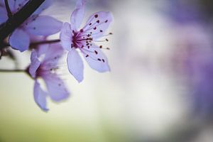 Rosa Blüte im Frühling von Jaike Reinders