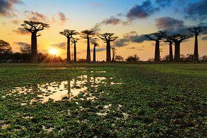 Baobab reflectie van