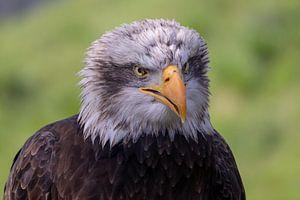 Amerikaanse zeearend. Antje the Eagle van Anjella Buckens