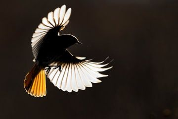 Gartenrotschwanz (Phoenicurus ochruros ) im Flug von AGAMI Photo Agency