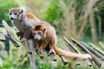 Apen genieten samen van Eric de Kuijper
