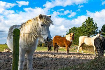 Ponies auf Texel von Dick Hooijschuur