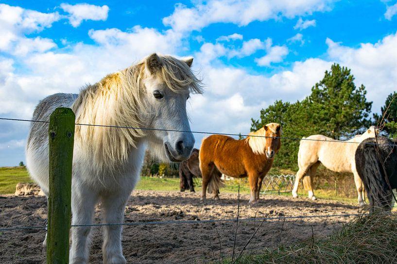 Pony's op Texel van Dick Hooijschuur