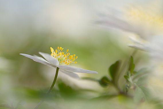 Bosanemoon in het bos van Vandain Fotografie