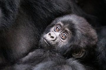 Gorilla baby van Jos van Bommel