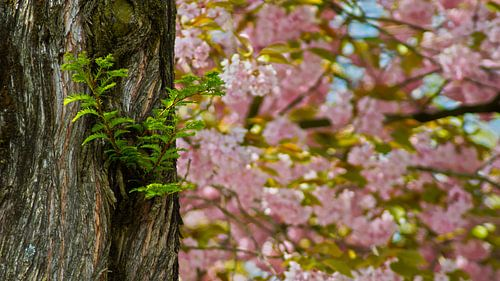 Pterocarya en de Prunus