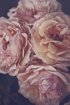 Zartrosa Rosen von Marina de Wit