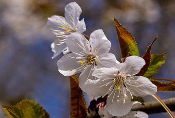 Kirschblüte in der Betuwe, Niederlande (1) von Adelheid Smitt