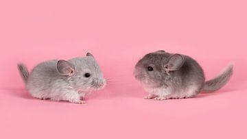 Zwei süße junge graue Chinchillas von Elles Rijsdijk