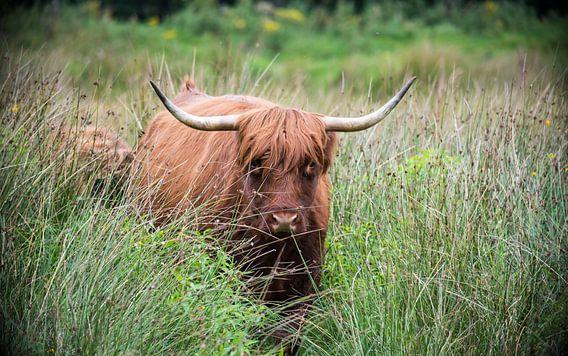 Schotse Hooglander in het hoge gras