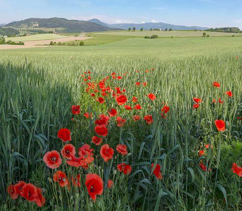 Klaprozen bij een korenveld, Sankt Donat, Karintië, Oostenrijk van