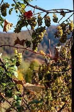 Druiven in de zon van Amber de Jongh
