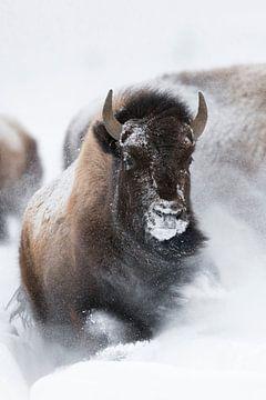 American Bison ( Bison bison ) breaking through fresh powder snow van