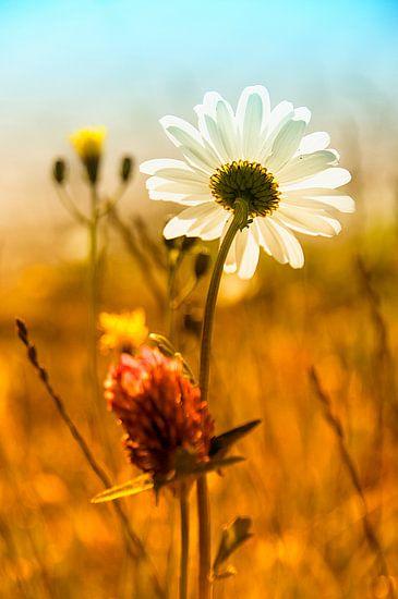 bloemenveld met margriet van Anouschka Hendriks