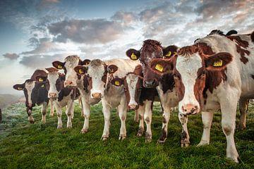 Sieben Kühe in einem Polder von Frans Lemmens