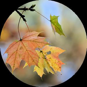 Esdoorn met herfstverkleuring van Heiko Kueverling