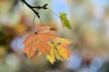 Esdoorn met herfstverkleuring