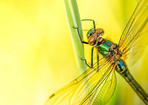 Smaragdlibel aan grashalm