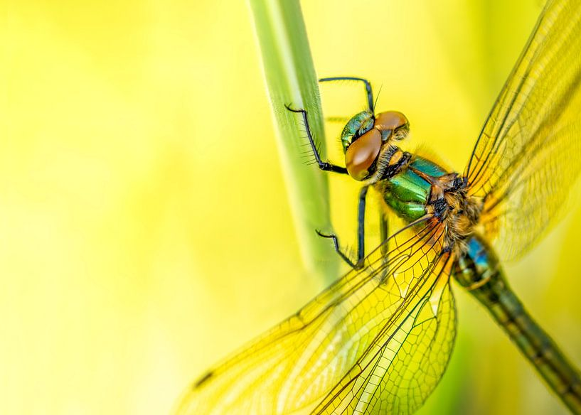 Smaragdlibel aan grashalm van Ina Bouhuijzen