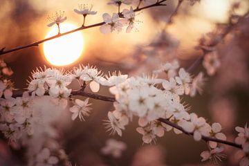 bloesems bij zonsondergang van Kristof Ven