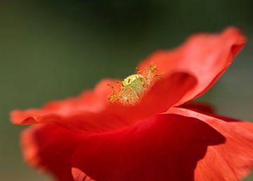 poppy (klaproos) van Ester Besuijen