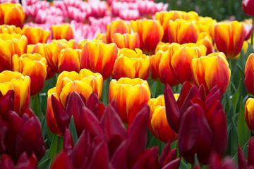 Tulpen van Dzidra Dubois