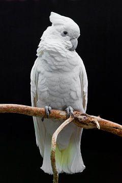 Ein großer trauriger weißer Papagei mit Büschel sitzt auf einem Ast vor einem dunklen Hintergrund. von Michael Semenov