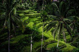 Indonesische rijstvelden van