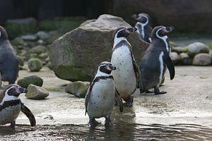 Humboldt Pinguïns sur Yorrit v.d.Kaa