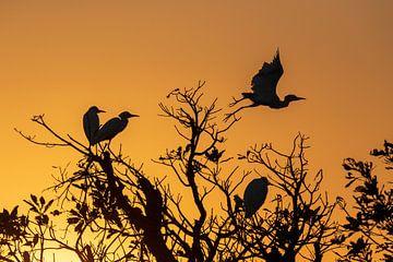 Kakadu National Park, Australië; Silhouet van reigers bij zonsopgang