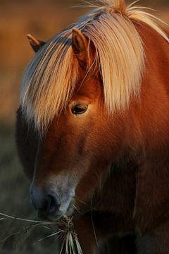 Islandpferd, teilweise im Sonnenlicht von Melissa Peltenburg