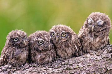 4 kleine uilen van Friedhelm Peters