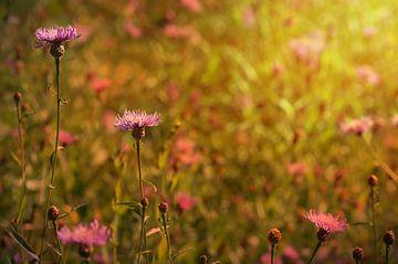 Kornblumen  im Sonnenlicht van zwergl 0611