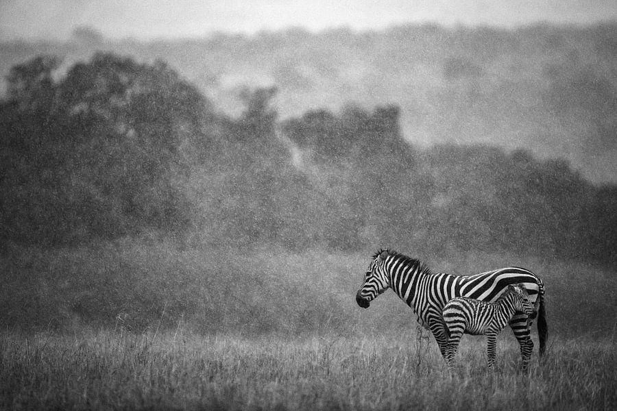 Zebra en veulen in de regen