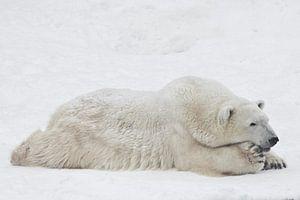 Eisbär nachdenklich und imposant ausgestreckt auf dem Schnee liegend