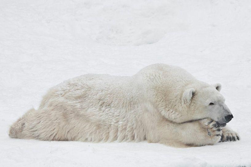 Eisbär nachdenklich und imposant ausgestreckt auf dem Schnee liegend von Michael Semenov