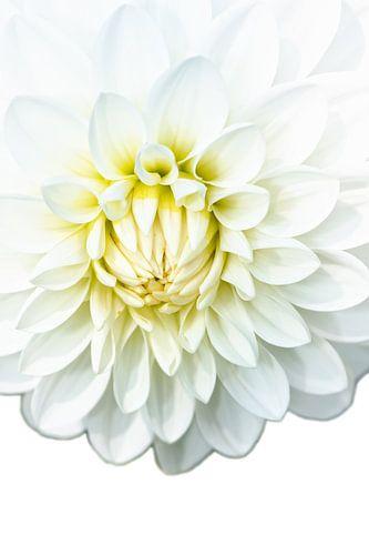 Witte Dahlia van Jan Brons